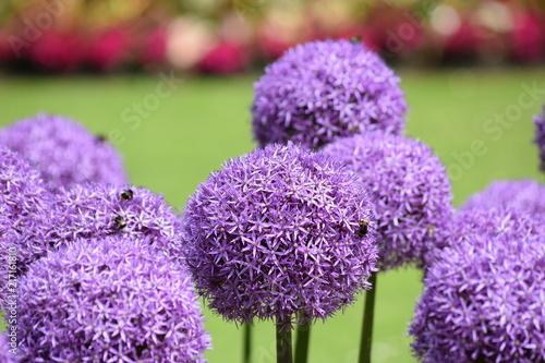 Foto Murales Purple round onion flower