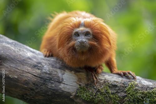 Foto Spatwand Lion Golden lion tamarin
