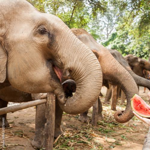 Foto Murales éléphant d'inde qui mange une pastèque