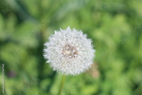 Dandelion - 217167045