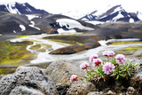 Beautiful flowers with landscape view of volcanic mountains in national park Landmannalaugar, Iceland, selected focus on the foreground