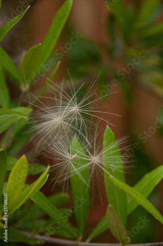 Foto Spatwand Paardenbloemen Seed Trio