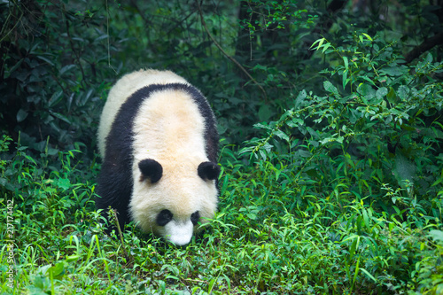 Canvas Panda One adult giant panda walking in the forest in China , Asia