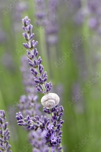 Canvas Lavendel S'ENDORMIR SUR UN BRIN DE LAVANDE