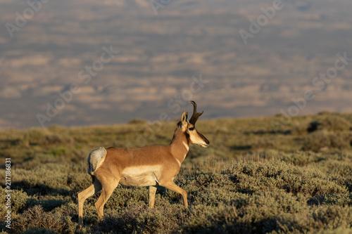 Canvas Hert Pronghorn Antelope Buck