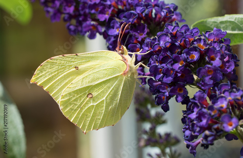 Foto Spatwand Vlinder Brimstone butterfly on flower