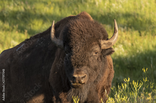 Canvas Bison Bull bison resting in early morning; Custer S.P.; South Dakota