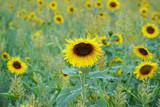 Schöne Sonnenblume im grünen Feld