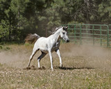 exquisite arabian horse mare galloping free in a pasure with a forest background - 217200618