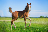 foal at the field
