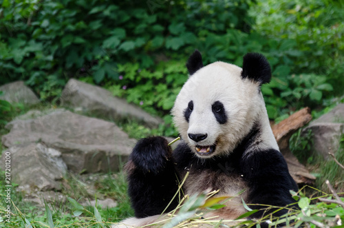 Canvas Panda Panda eating bamboo