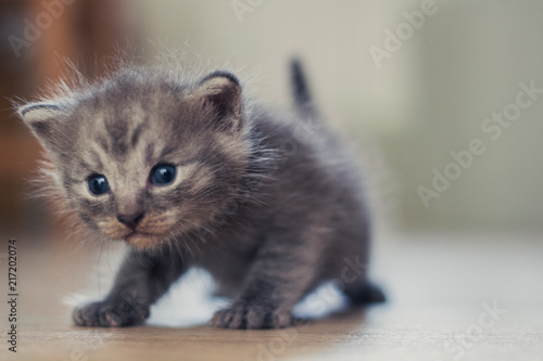 Foto Spatwand Kat little gray kitten