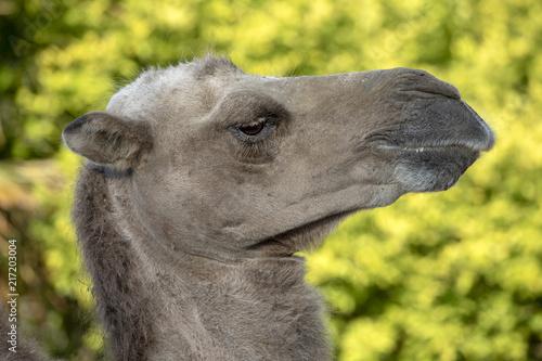 Fotobehang Kameel Camel close-up portrait