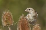 European goldfinch (Carduelis carduelis) - 217204669