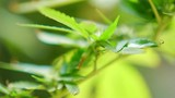 Selective focus of a cannabis plant blowing in the wind - 217209416