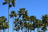A lot of palm trees on a clear summer day - 217210275