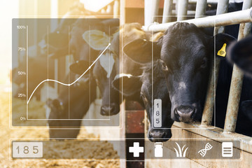 Agritech concept with dairy cows in cowshed with data display © lukesw