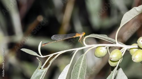 Leinwanddruck Bild Macro of Orange Bluet Damselfly (Enallagma signatum) on Vegetation
