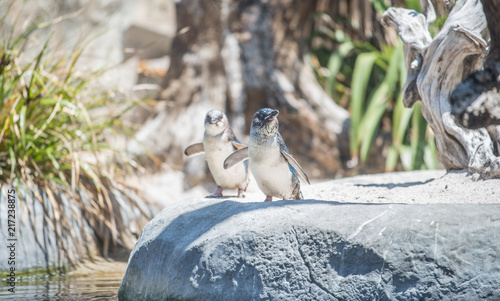 Canvas Pinguin The Fairy penguin (or Blue penguin) in National aquarium of New Zealand. This species is the smallest penguin in the world.