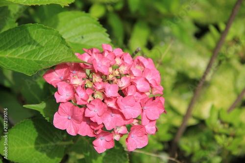 Foto Spatwand Hydrangea 濃いピンク色のアジサイ(宮城県)