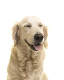 Portrait of a golden retriever dog with eyes closed on a white background