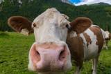 vaca tirolesa
