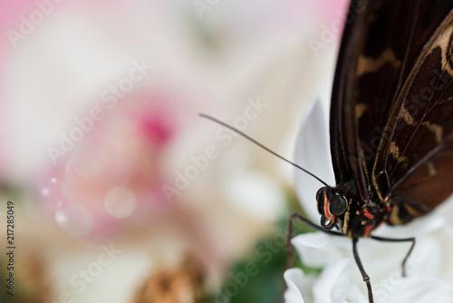 Canvas Vlinder Morpho butterfly