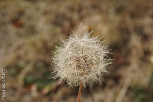 Foto Spatwand Paardenbloemen Pusteblume