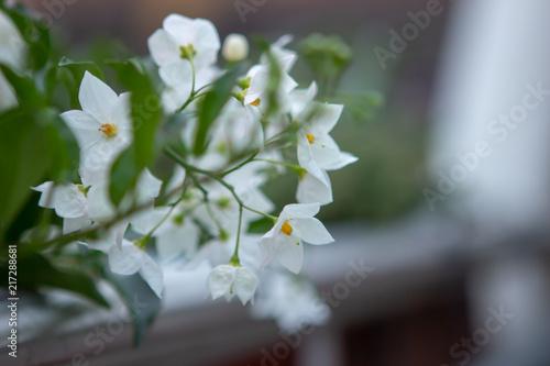 Foto Murales weiße Blüten