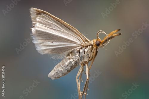 Foto Murales Micro moth - grass moth details