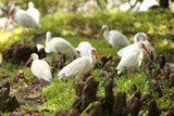 American white ibis - 217302245