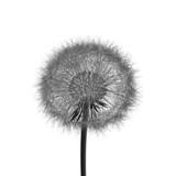 3d rendering illustration of dandelion