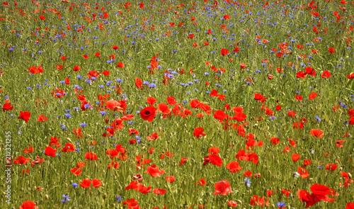 Poppy field near Jozefow. Poland - 217321255