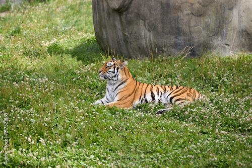 Canvas Tijger Tiger profile