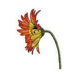 Open petals daisy head flower. Floral Botany drawings. Color line art. Vector.