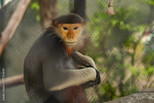 The red-shanked douc langur is one on the list of endangered species, and prohibited for international trade.