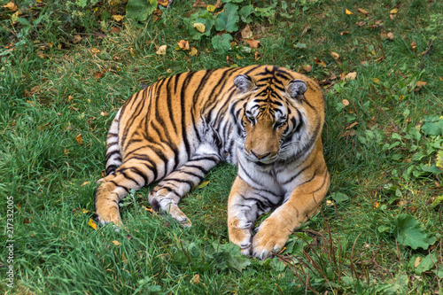 Canvas Tijger Amur Tiger in a forest of Canada