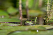 A green european frog sticking its head up between water lily leaves with mares tails in the blurred background