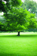 Quadro Beautiful greenery of lush summer tree and green grass
