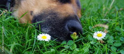 Foto Murales schlafender hund in wiese mit gänseblümchen