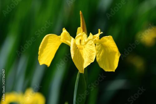Aluminium Iris Flag iris (iris pseudacorus) in bloom