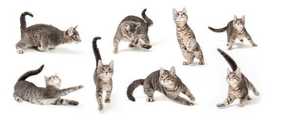 Playful Cute Gray Kitten in Different Positions © adogslifephoto