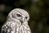 barking owl - 217374853