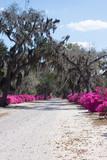 Azaleas and tree lined drive