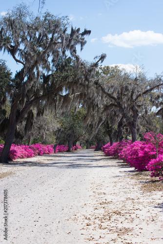 In de dag Azalea Azaleas and tree lined drive