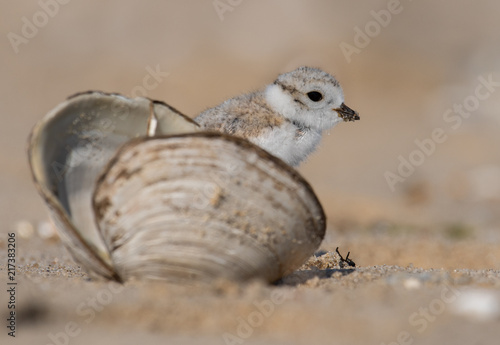 Foto Murales Piping Plover Chick in a Seashell