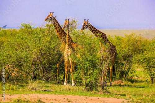 Canvas Pistache Beautiful shots of giraffes in Africa
