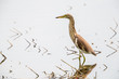 Portrait of bird - Chinese Pond Heron  (Ardeola bacchus)