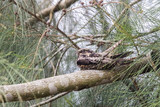 Savanna Nightjar  (Caprimulgus affinis) perching on tree at wetland of Hong Kong