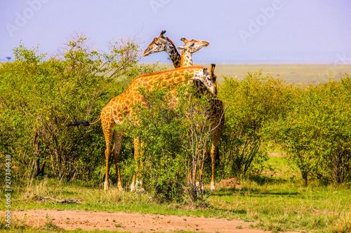 Foto Murales Beautiful shots of giraffes in Africa